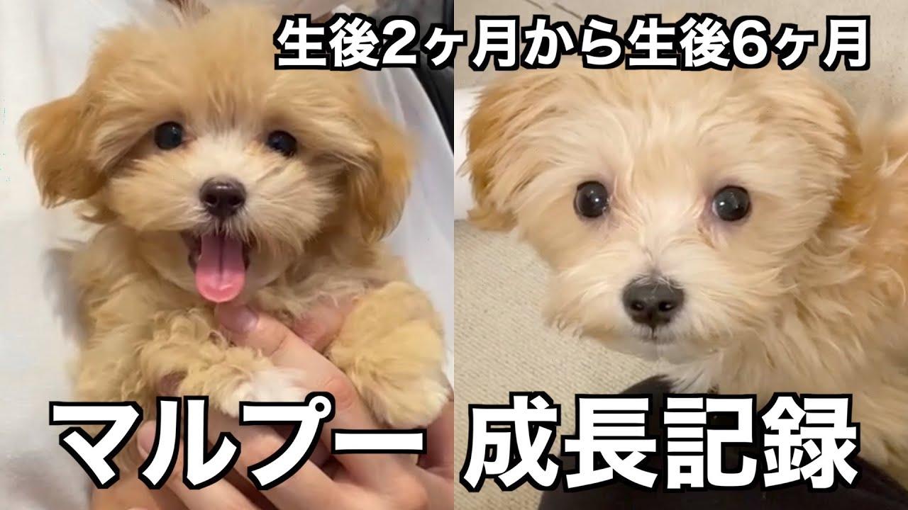 子犬 マルプー マルプー生後6ヶ月までの変化 見た目はほぼ成犬?